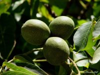 Walnut in Ukraine: features and benefits